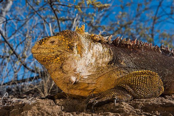 Galapagos Legend's 8-Day 'B+C' Itinerary Day Three - Land Iguana.