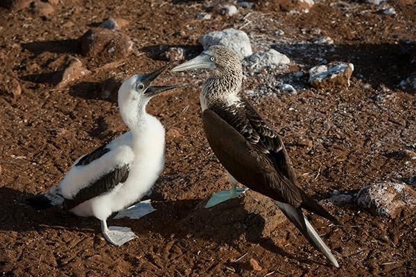 Galapagos Legend's 8-Day 'B+C' Itinerary Day Six - Pair of Blue-Footed Boobies.