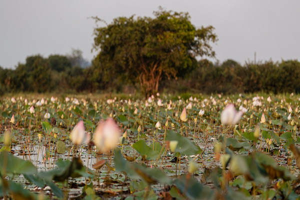 Aqua Mekong's 8-Day Mekong Expedition Upstream Day Seven - Lotus Field