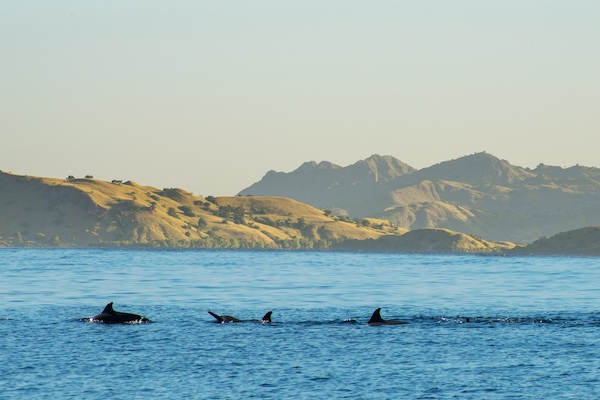 Sequoia's 11-Day Komodo Sumbawa - Day Two - Watching Dolphin