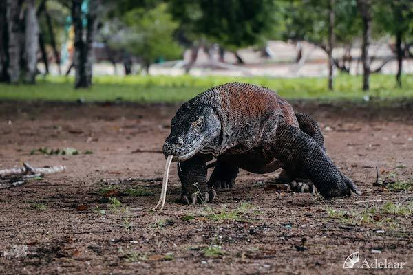 Adelaar's 11-Day Komodo Extended Komodo to Bali - Day Two - Komodo Dragon