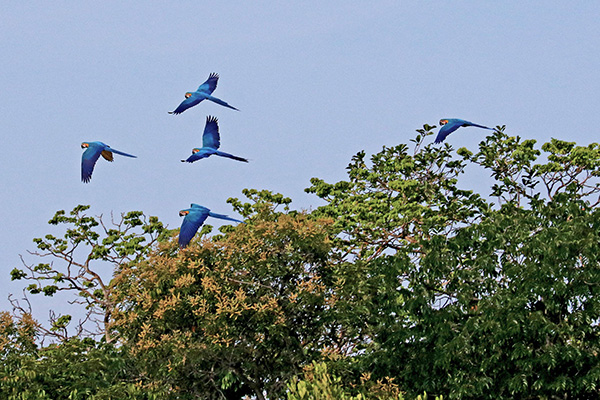 Amazon Eco Boat's 4-Day Discovery Cruise Day Two - Blue Macaw Sighting.