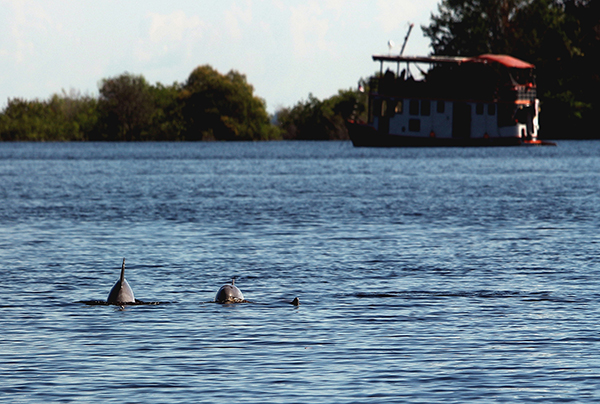 Amazon Eco Boat's 6-Day Immersion Cruise Day Four -  Dolphins Swimming in the water.