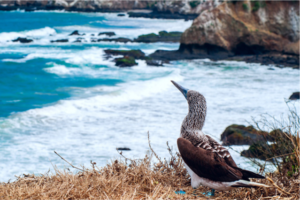 Kontiki's 8-Day Toquilla Expedition Itinerary Day Five - Blue-Footed Booby Sighting.