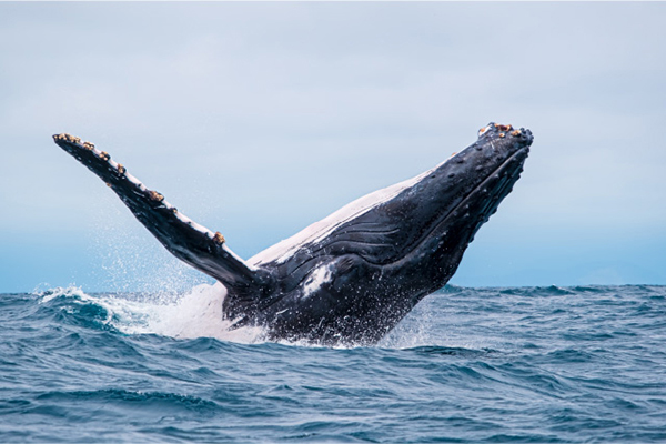 Kontiki's 8-Day Spondylus Expedition Itinerary Day Five - Whale Watching.