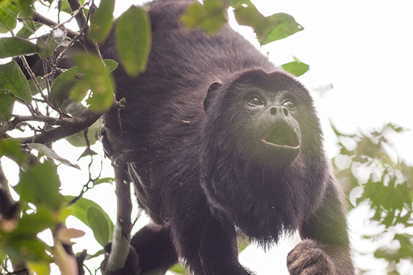 Araras Eco Lodge's 4-Day Pantanal Stay Day Two - Howler Monkey.
