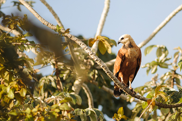 Araras Eco Lodge's 5-Day Pantanal Stay Day One - Black Collared Hawk Sighting.