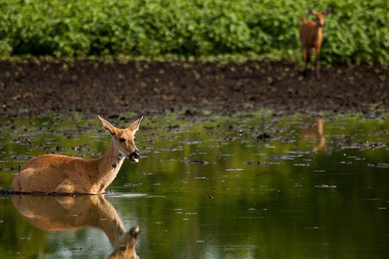 Araras Eco Lodge's 5-Day Pantanal Stay Day Five - Marsh Deer.