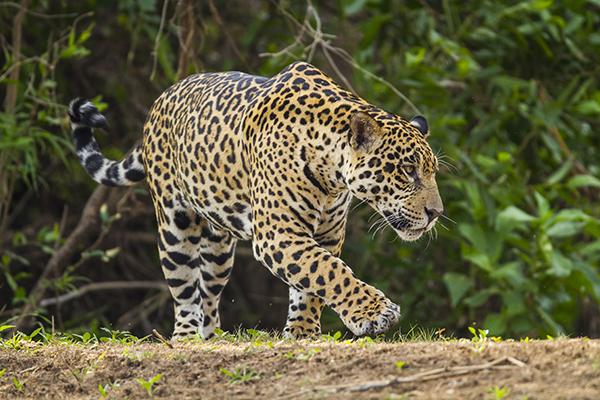 Araras Eco Lodge's 5-Day Jaguar Express Stay Day Four -  Jaguar Sighting.