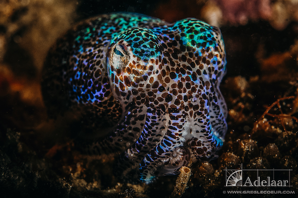 Adelaar's 12-Day Alor & The Forgotten Island: Maumere to Saumlaki - Day Nine - Colorful Octopus