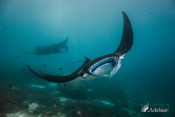 Adelaar's 12-Day Alor & The Forgotten Island: Maumere to Saumlaki - Day Ten - Manta Rays
