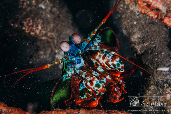 Adelaar's 12-Day Banda Sea: Ambon to Saumlaki - Day Five - Mantis Shrimp
