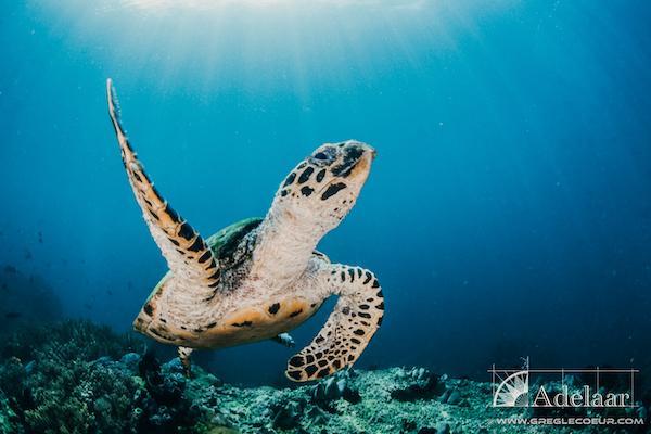 Adelaar's 12-Day Banda Sea: Ambon to Saumlaki - Day Ten - Turtle
