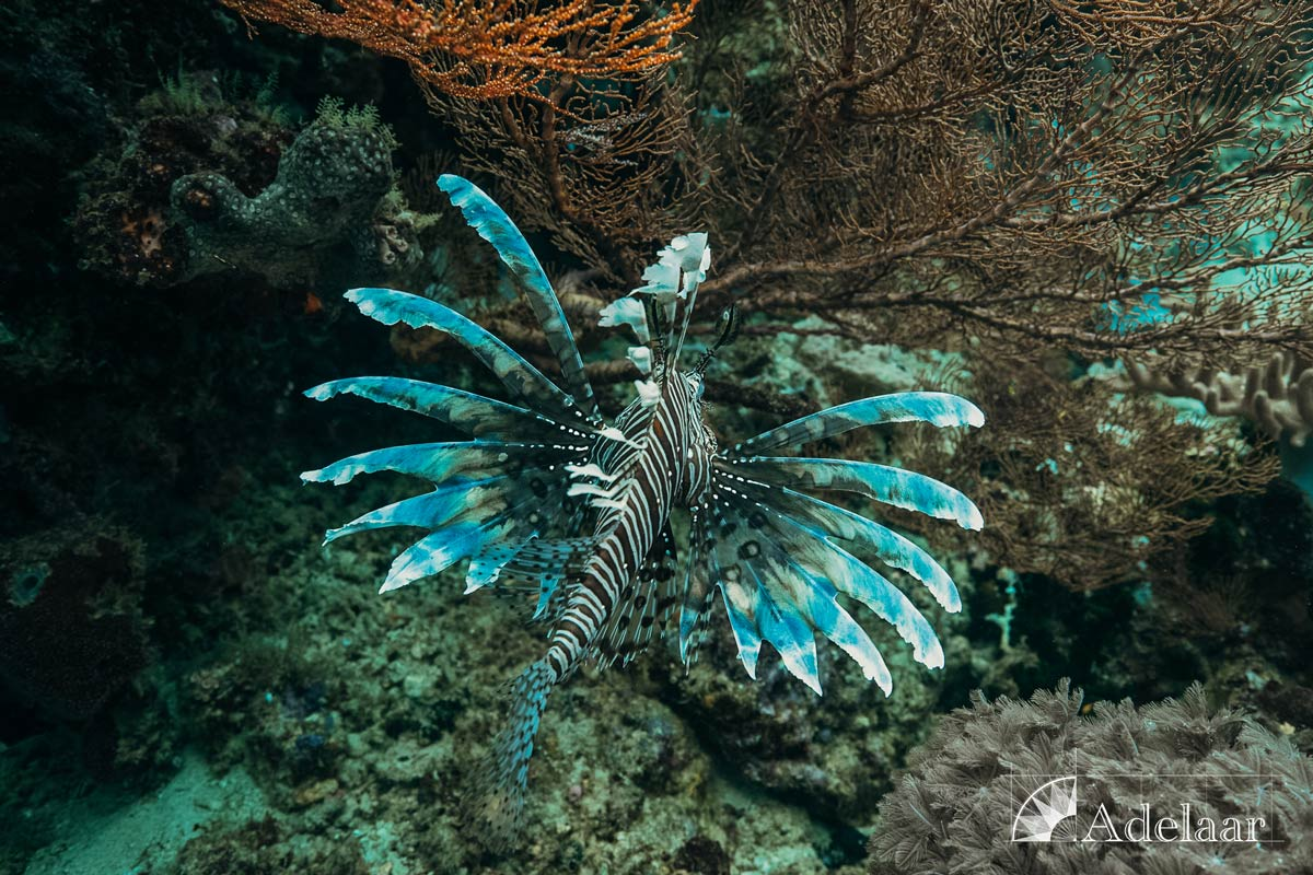 Adelaar's 12-Day Banda Sea: Saumlaki to Ambon - Day Seven - Lion Fish
