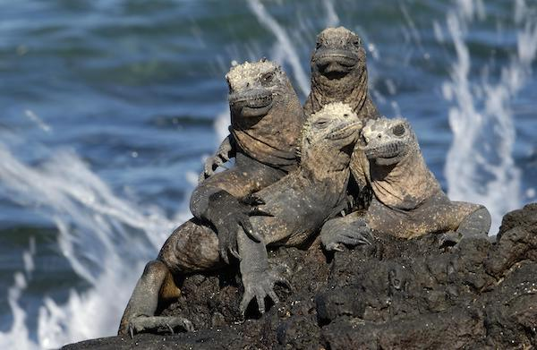 Galapagos Legend's 5-Day 'D' Itinerary Day Two - Group of Marine Iguanas.