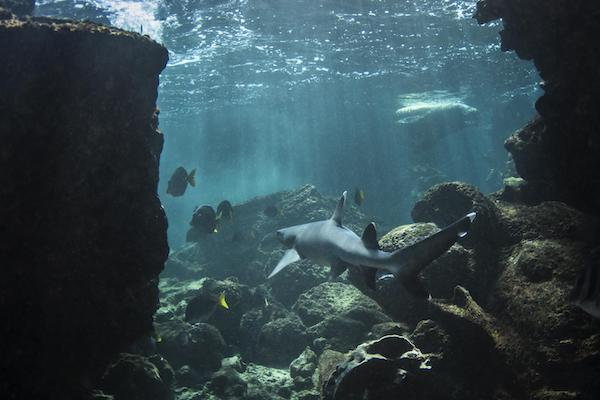 Galapagos Legend's 5-Day 'D' Itinerary Day Five - White-Tipped Sharks Swimming.
