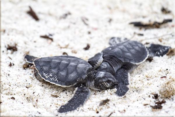 Galapagos Legend's 4-Day 'A' Itinerary Day Four - Baby Turtles on the Beach.