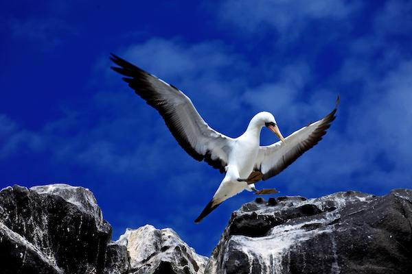 Galapagos Legend's 4-Day 'A' Itinerary Day Two - Nazca Booby.