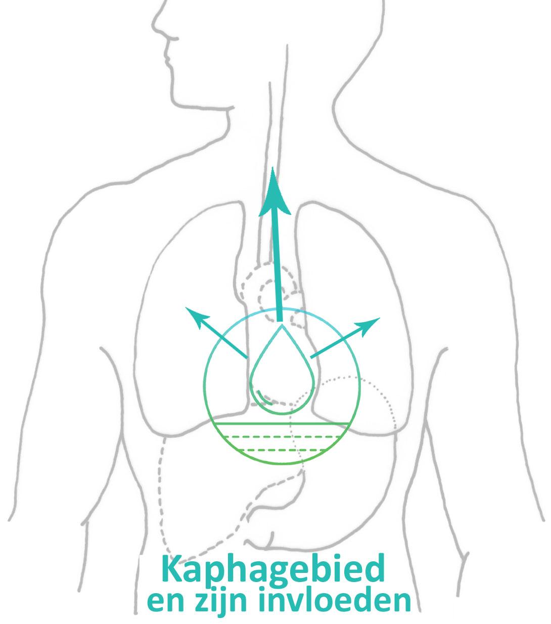 De invloed van kapha op longen en keelholte en neusholte