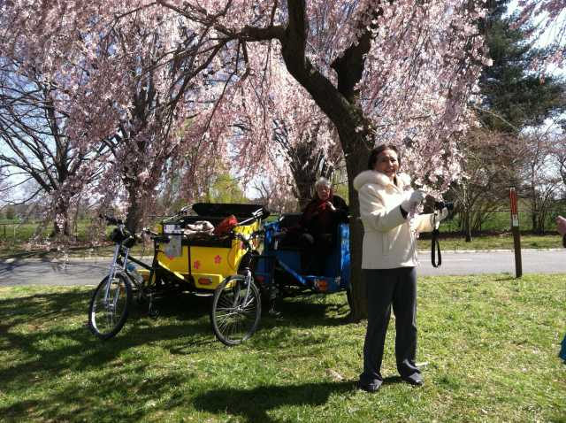 Cherry Blossom Tour by pedicab