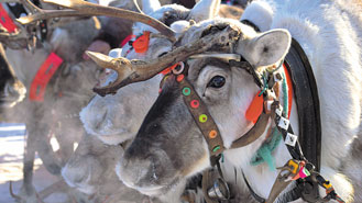 reindeer with harness.jpg