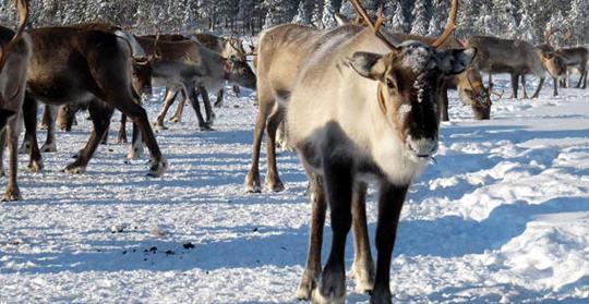 reindeer-run.png (1)
