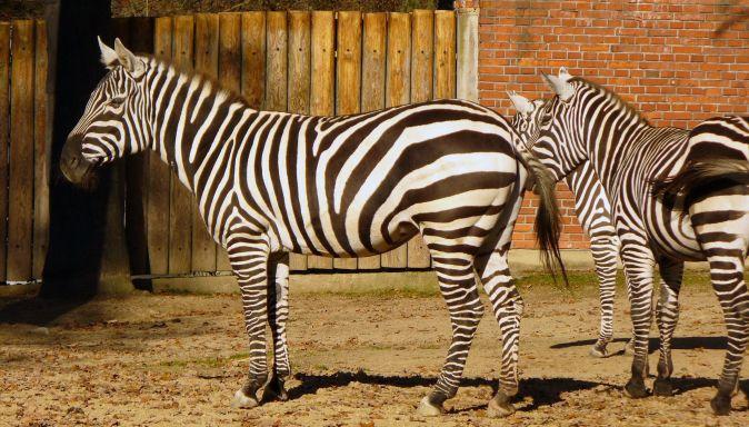 Zebry v Herberstein Zoo