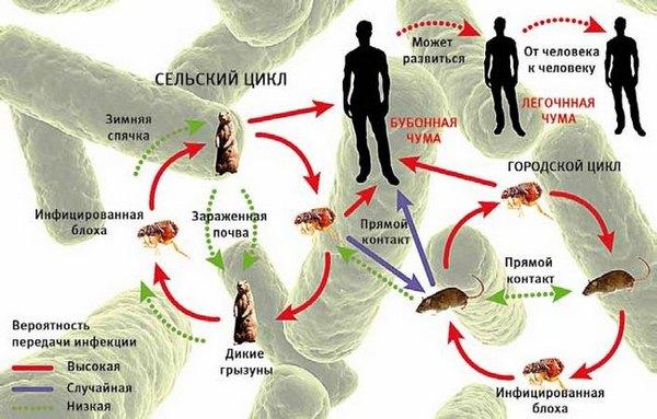 Чума - форми, ознаки, симптоми ( фото) і лікування