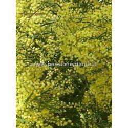 Mimosa albero di Acacia albero di mimosa pianta...