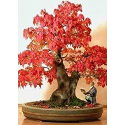 Bonsai: prezzi e offerte prodotti giardino e giardinaggio