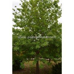 Quercia Albero di Quercia Ilex alberi quercia...