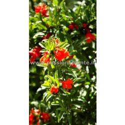 Pianta Melograno da Fiore albero Punica Granatum...