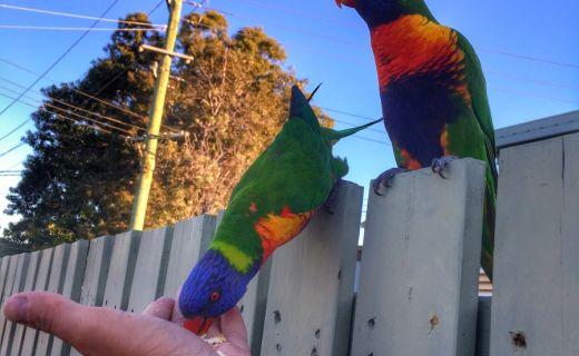 Barevný papoušek sedí na plotě