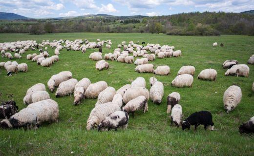 Fotografie ovcí