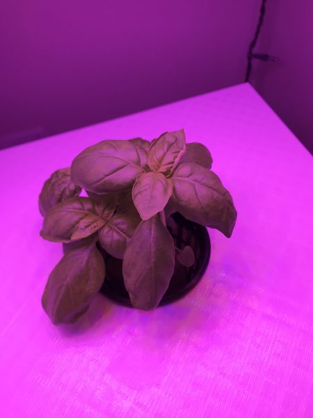 Basil Growth - 5
