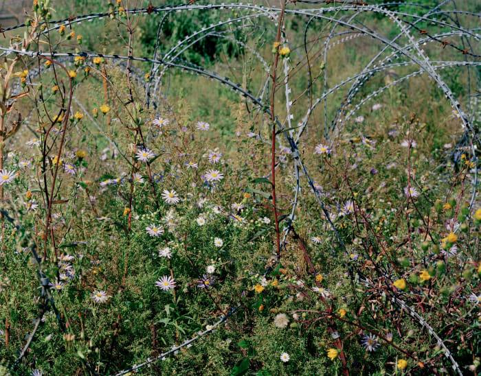 Entwined barbwire and flowers (near DMZ, Cheorwon, South Korea)Ⅰ by Tomoko Yoneda