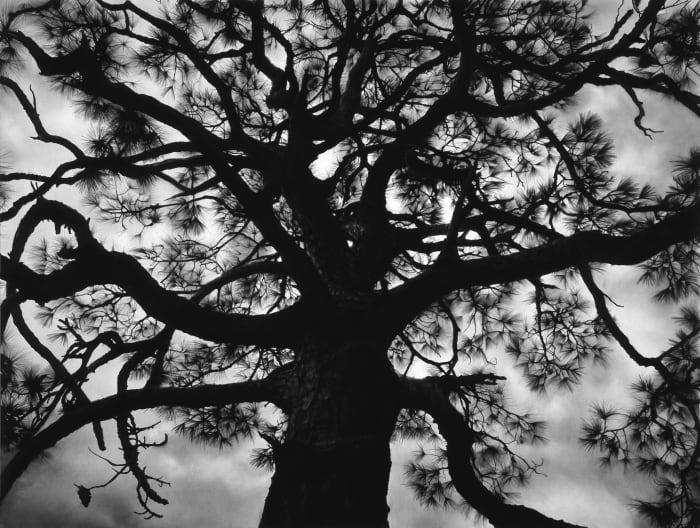 Untitled (Pine Tree) by Robert Longo
