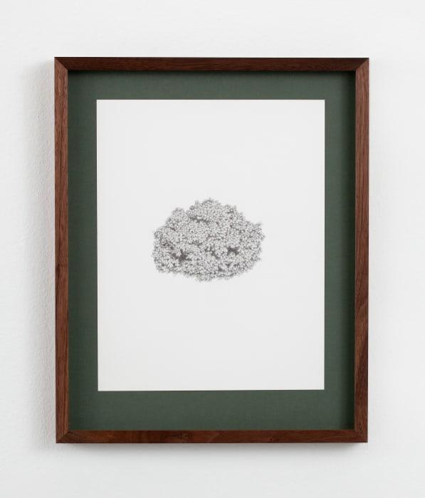 Picea abies 'Gregoryana Parsonii' by Ann Böttcher