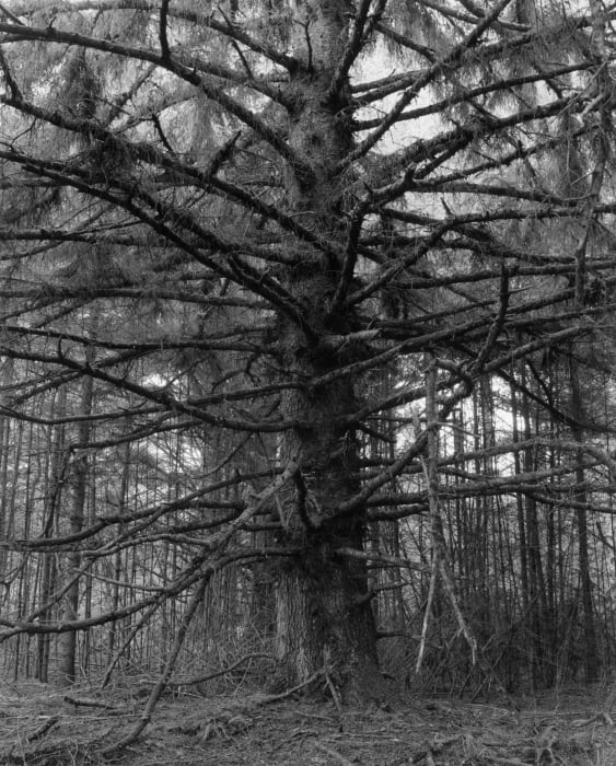 Sitka spruce, Cape Blanco State Park, Curry County, Oregon by Robert Adams