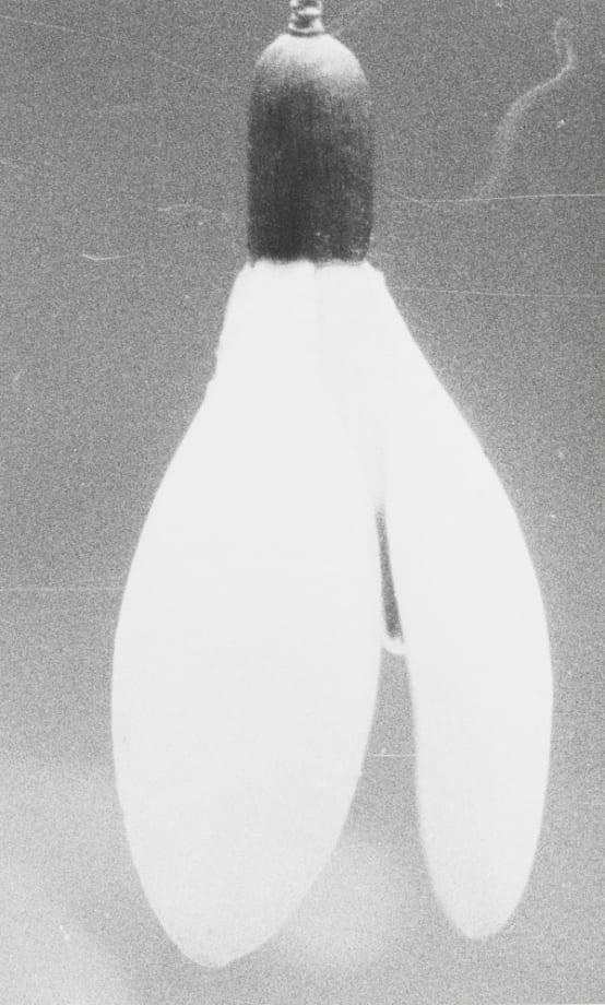 (33) Snowdrop by Jochen Lempert