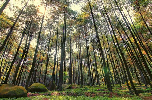 Hutan Pinus Mangunan : Harga Tiket Masuk Lokasi Hutan Pinus Jogja