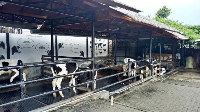 Melihat Sapi dI Kebun Mini Farmhouse Bandung