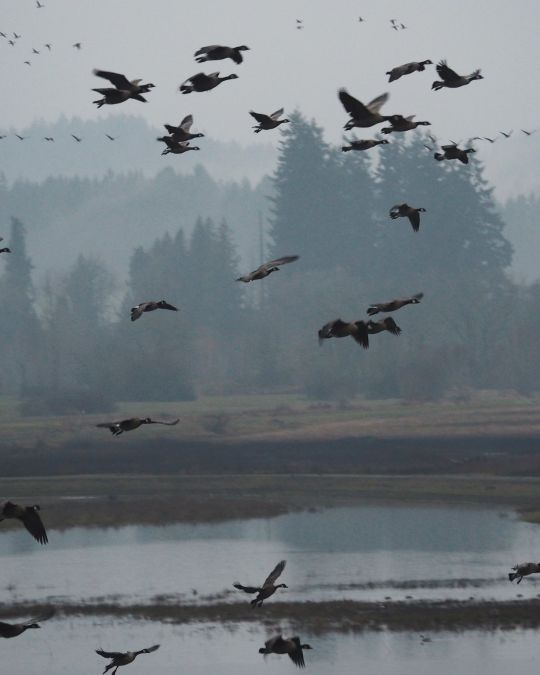 Waterfowl take flight at the Tualatin River National Wildlife Refuge