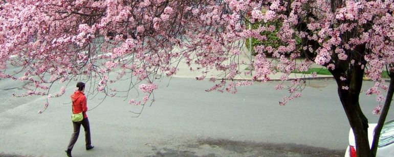 Spring brings beautiful cherry blossoms to downtown Waterfront Park.