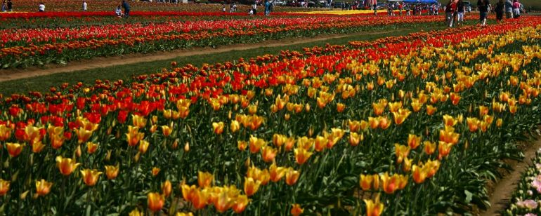 Take in the views and the blooms at the Wooden Shoe Tulip Festival.