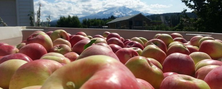 Visitors to Oregon\'s Fruit Loop can pick apples straight from the branch.