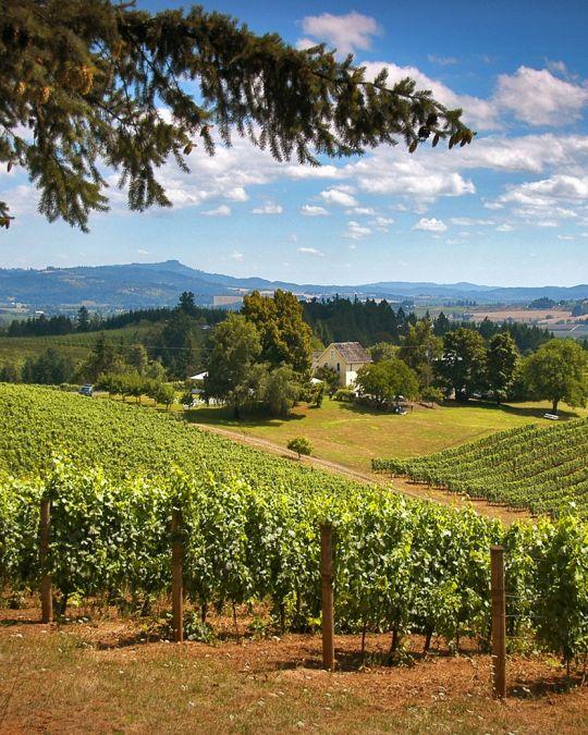 a grape vinyard on a sunny day