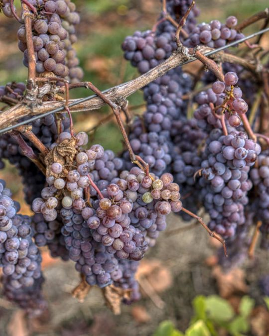 a vine loaded with bunches of purple grapes