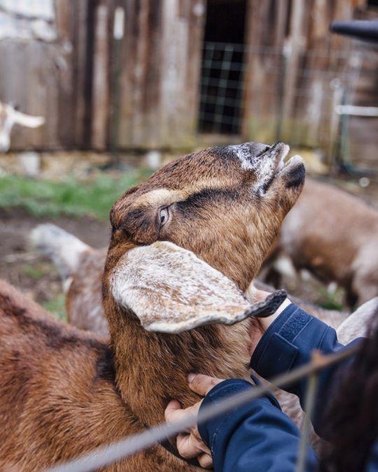a Native American woman greeting a farm goat