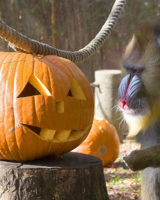 a monkey and a jack-o-lantern